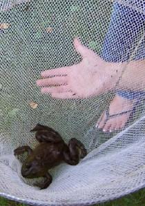 Bullfrog compare hand