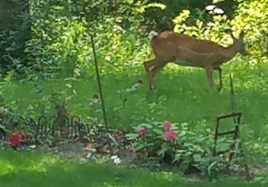 Deer in gardfen