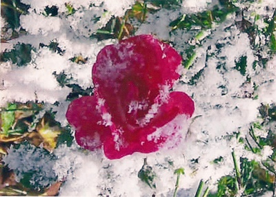 Rose Winter 400